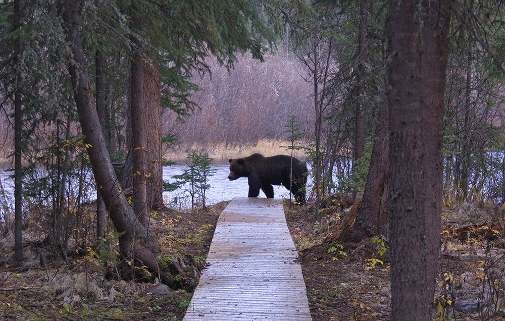 grizzly_bear_trail