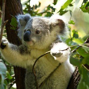 Koalas are not loving th heat in Aus.